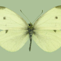 Papercutting_cabbage butterfly
